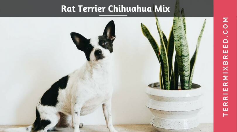 Rat Terrier Chihuahua Mix – Ratch Ratchi Puppies