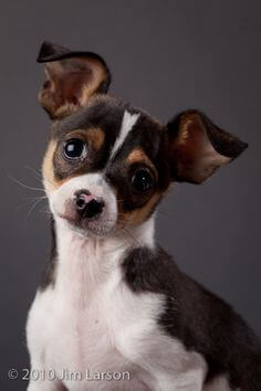 Rat Terrier Chihuahua Mix Ratcha