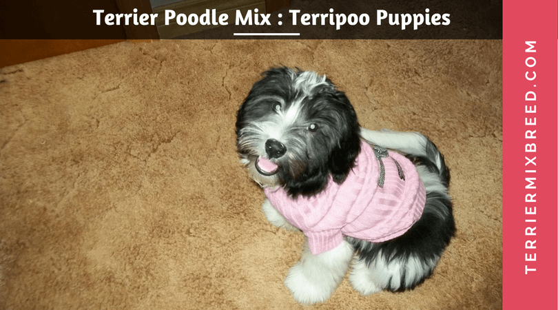 Terrier Poodle Mix – Terripoo Puppies