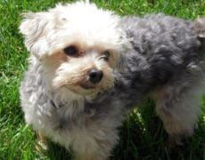 Terrier Poodle Mix