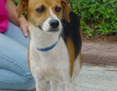 Beagle Rat Terrier Mix Dog