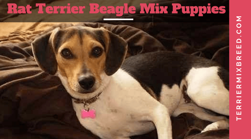 Rat Terrier Beagle Mix Puppies