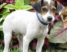 Rat-Terrier-Beagle-Mix-Puppy Pictures